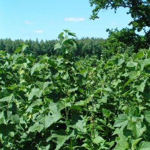 Blackcurrant harvest 2016 – a sad story