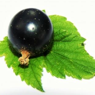Blackcurrant – the stress hero