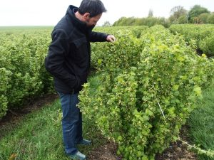 blackcurrant grower inspecting his field during blossoming