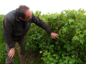 Blackcurrant grower Guillaume Marie (Les Deux Ormes) checking his bushes of Blackdown