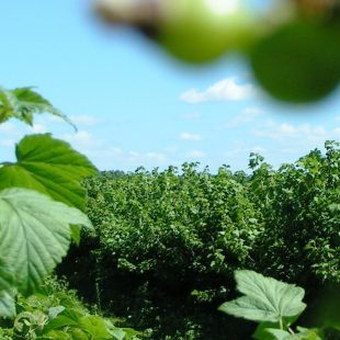 Blackcurrant plant protection info now available on www.blackcurrant-iba.com