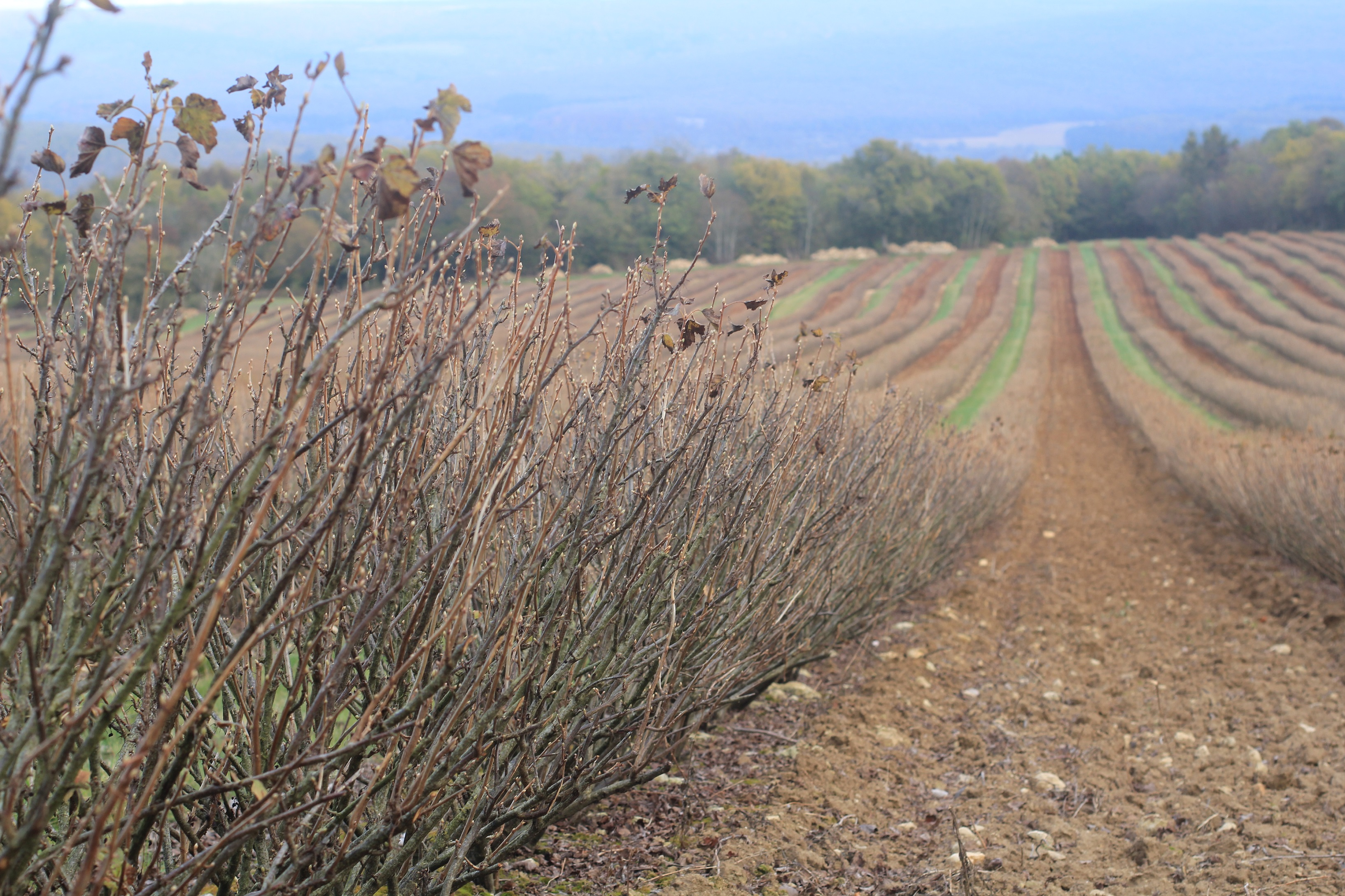 Picture of a blackcurrant field in autumn, bushes without leaves