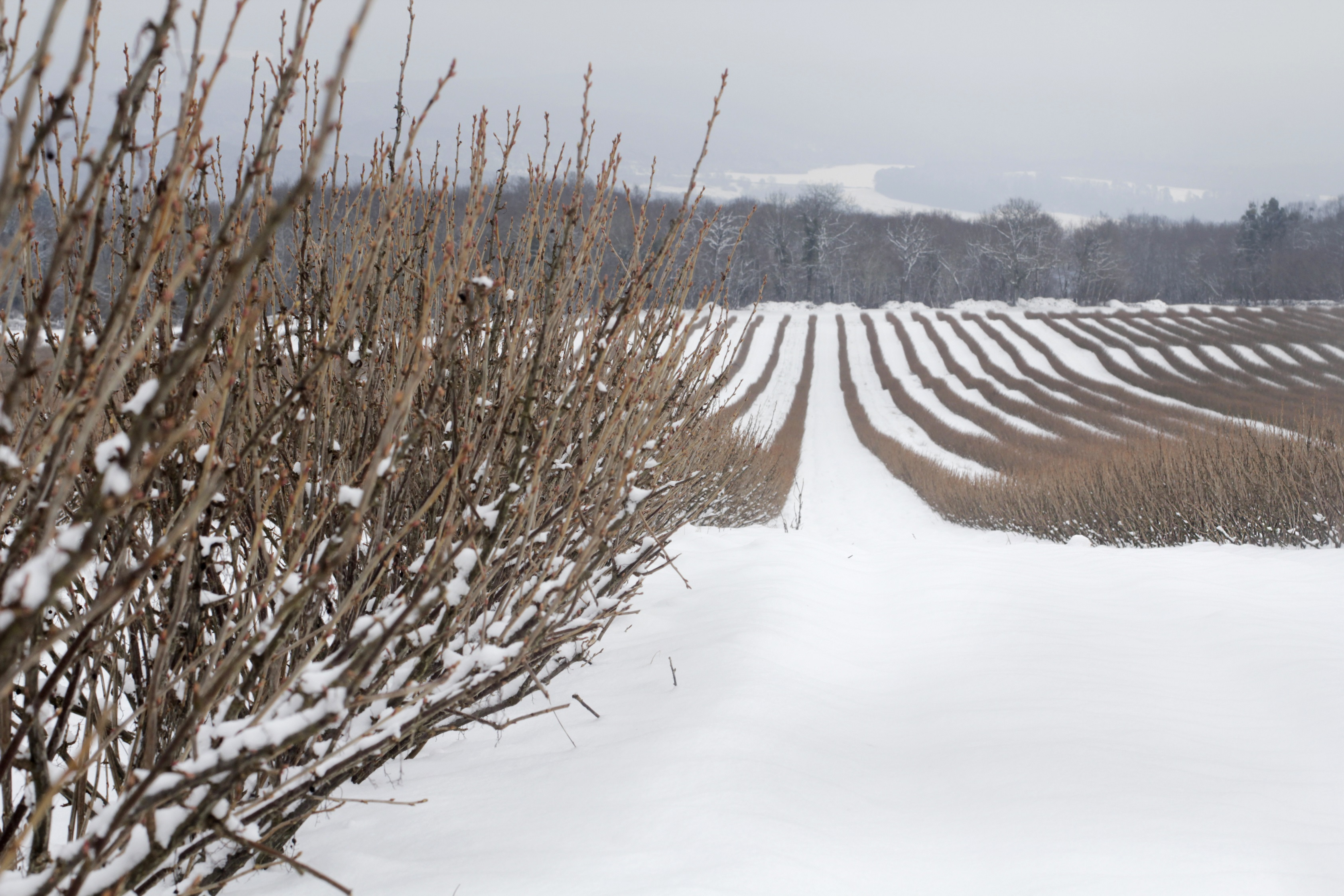 Picture of a blackcurrant field in winter with snow