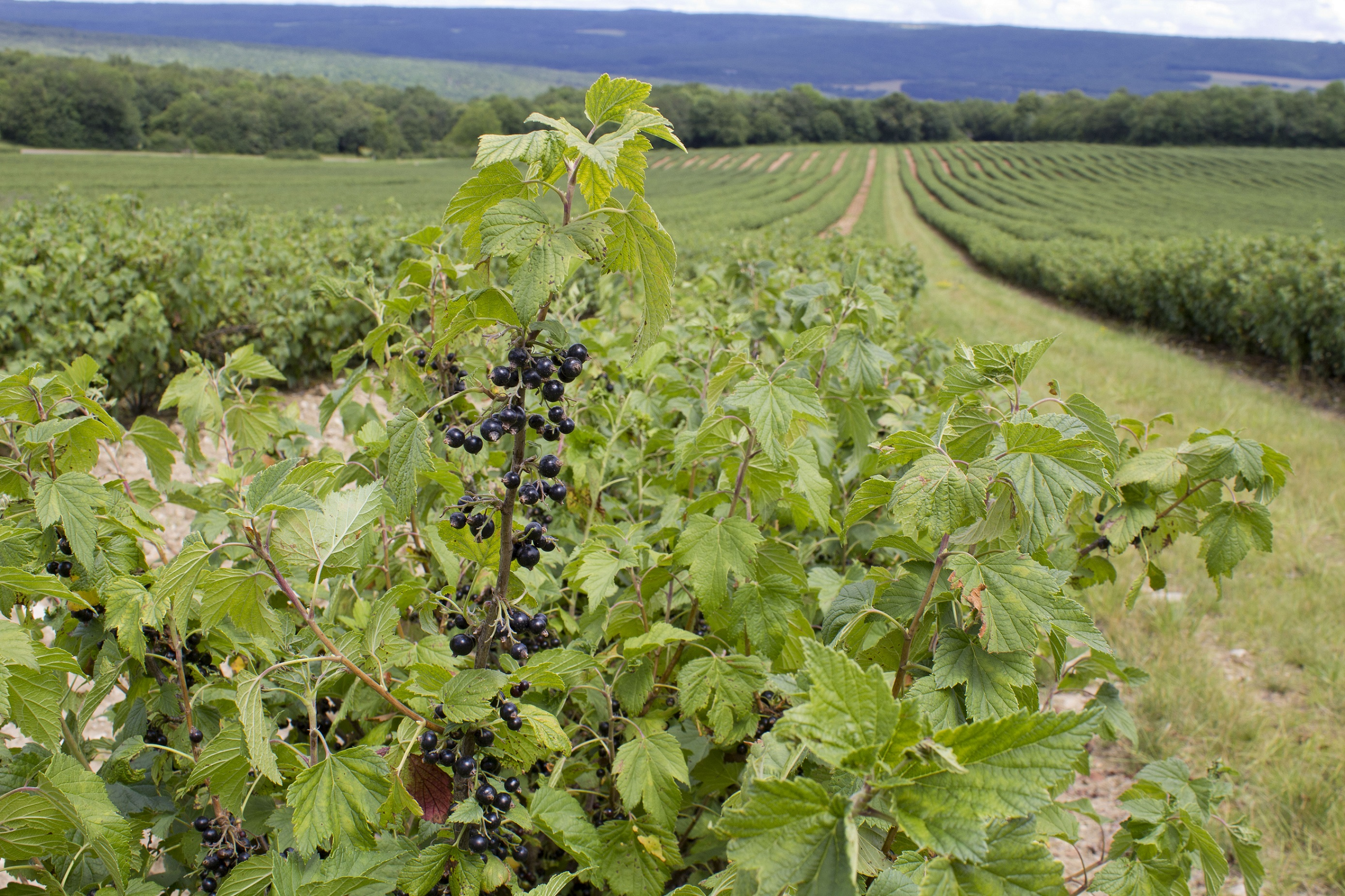 Picture of a blackcurrant field with a bush and ripe blackcurrants in the front