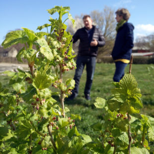 Jens Holme Pedersen: from conventional to organic blackcurrant growing in Denmark