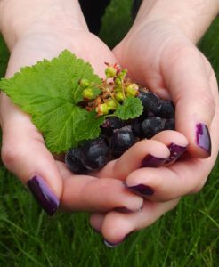 two hands filled with blackcurrants, leaves and flowers