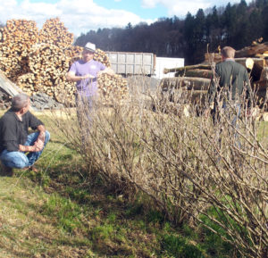Row of blackcurrants in the foreground, cut wood in the background, two men talking with an aronia grower from StBoG