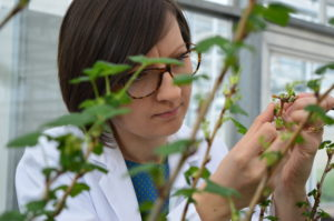 variety research: Dr Dorota Jarret, blackcurrant breeder, looking closely at a young blackcurrant plant