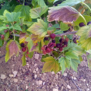Climate change challenges blackcurrant growers